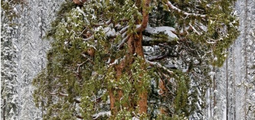 3200년 된 나무